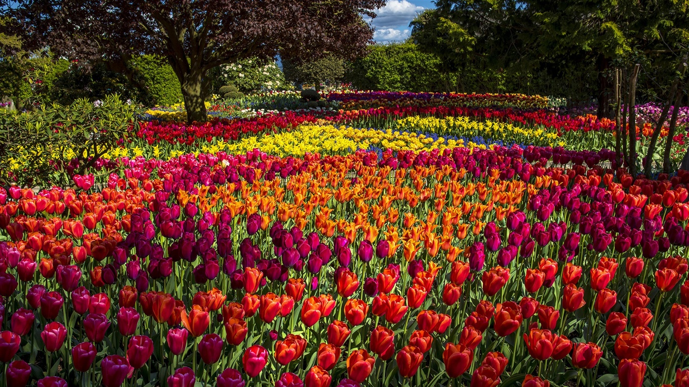 Tulips, colorful, trees, park 1366x768 wallpaper