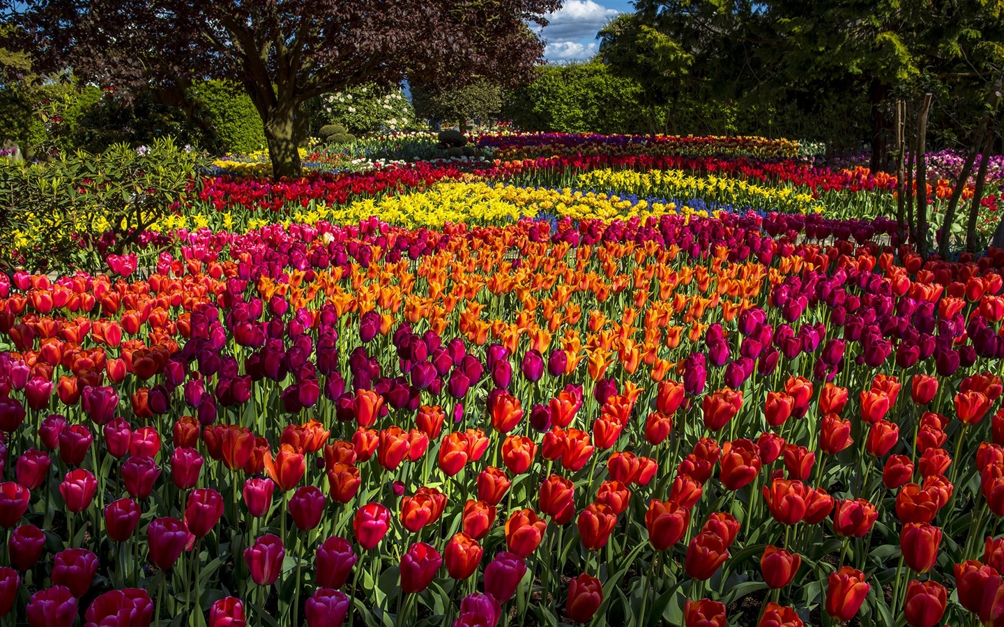 Tulips, colorful, trees, park 1440x900 wallpaper