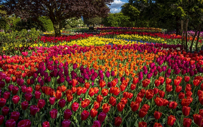 Tulips, colorful, trees, park Wallpapers Pictures Photos Images