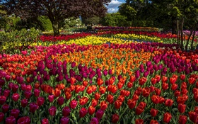 Tulips, colorful, trees, park HD wallpaper