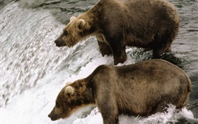 Two bears in the river, hunt fish