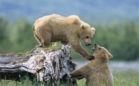 Two bears playing game