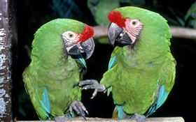 Two green parrots close-up HD wallpaper
