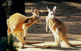Two kangaroo, Australia HD wallpaper