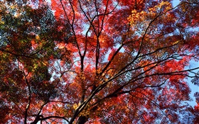 Under the tree to see sky, red leaves, maple, autumn