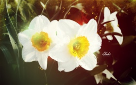 White daffodil HD wallpaper