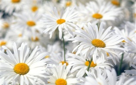 White daisy flowers close-up HD wallpaper