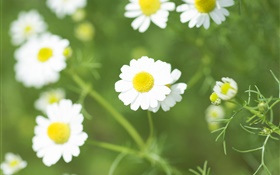 White daisy flowers, wildflowers HD wallpaper