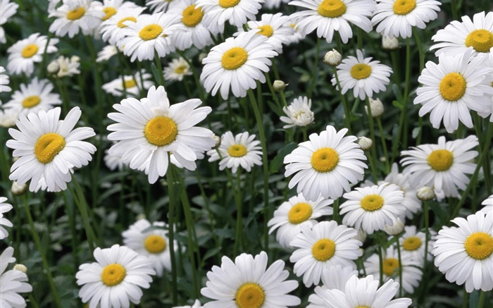 White daisy flowers Wallpapers Pictures Photos Images