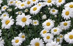 White daisy flowers HD wallpaper