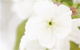 White flower close-up, petals, blur HD wallpaper