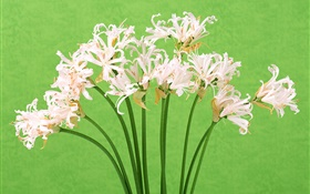 White flowers, bouquet, green background HD wallpaper
