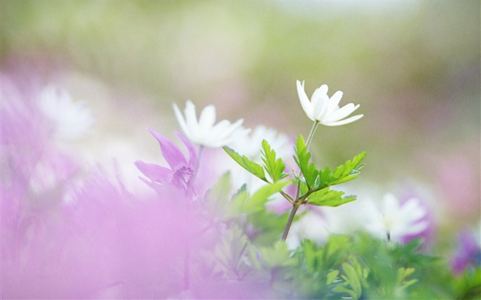 White flowers, green leaves, bokeh Wallpapers Pictures Photos Images