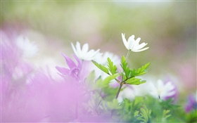 White flowers, green leaves, bokeh HD wallpaper