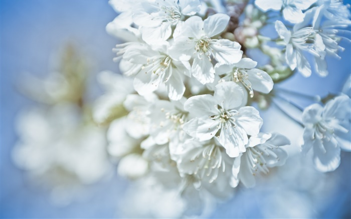 White flowers, twigs, bokeh Wallpapers Pictures Photos Images