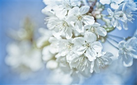 White flowers, twigs, bokeh HD wallpaper