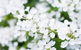 White little flowers, bokeh, spring HD wallpaper