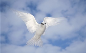White pigeon flying, wings