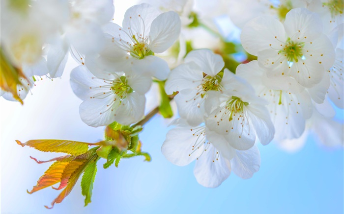 White plum, flowers, bloom, twigs, spring Wallpapers Pictures Photos Images