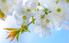 White plum, flowers, bloom, twigs, spring HD wallpaper