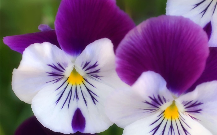 White purple petals, butterfly orchid close-up Wallpapers Pictures Photos Images