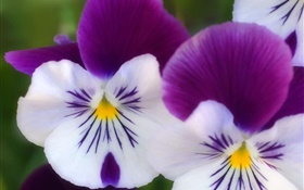 White purple petals, butterfly orchid close-up HD wallpaper