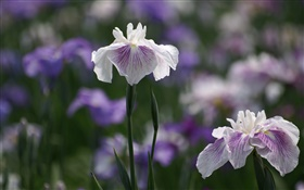 White purple petals flowers, bokeh HD wallpaper