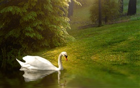 White swan, pond, grass, slope HD wallpaper