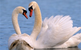 White swans couple HD wallpaper