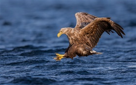 White-tailed eagle, hawk, predator, wings, water HD wallpaper