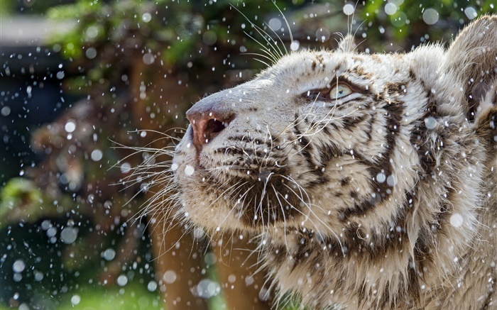 White tiger, face, winter Wallpapers Pictures Photos Images
