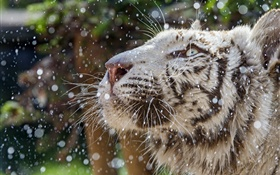 White tiger, face, winter HD wallpaper