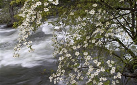 White wildflowers, river, nature scenery HD wallpaper