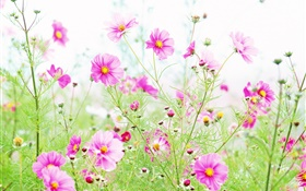 Wildflowers, pink kosmeya flowers HD wallpaper