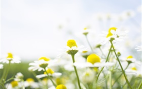 Wildflowers, white daisy, bokeh HD wallpaper