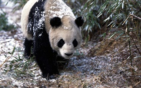 Winter, panda, walk HD wallpaper