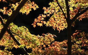 Yellow and green leaves, maple tree, sunshine, autumn HD wallpaper
