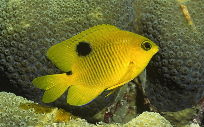 Yellow clown fish Wallpapers Pictures Photos Images