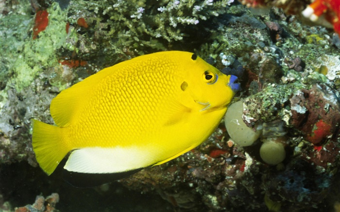 Yellow fish Wallpapers Pictures Photos Images