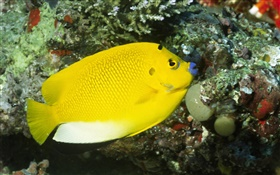 Yellow fish HD wallpaper