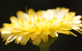 Yellow flower petals close-up, black background HD wallpaper
