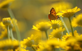 Yellow flowers, butterfly, blur background HD wallpaper