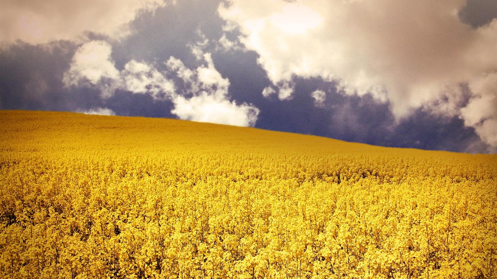 Фото желтых цветов в поле