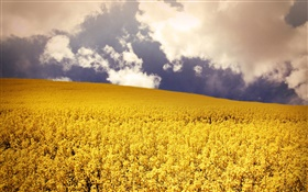 Yellow flowers field, clouds HD wallpaper