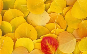 Yellow leaves close-up, one red leaf HD wallpaper