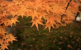 Yellow maple leaves, twigs, autumn HD wallpaper