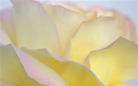Yellow rose petals close-up