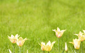 Yellow tulip flowers, green background HD wallpaper