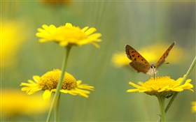 Yellow wildflowers, insect, butterfly HD wallpaper