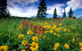 Yellow wildflowers, nature, clouds HD wallpaper